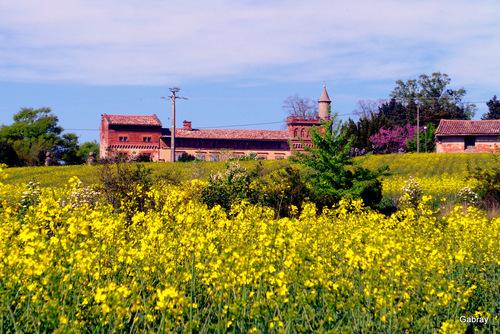 Montbrun Lauragais: des champs et du colza...