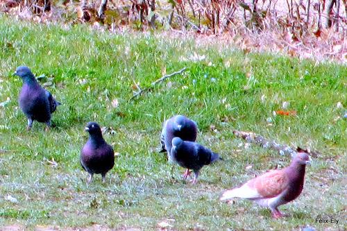 Les pigeons peureux !