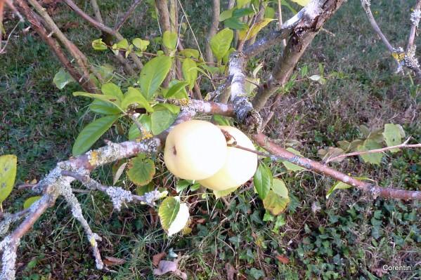 h22--Petite-pomme.JPG