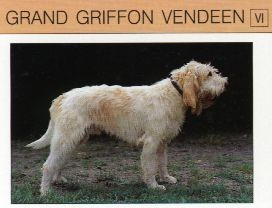grand griffon vendeen