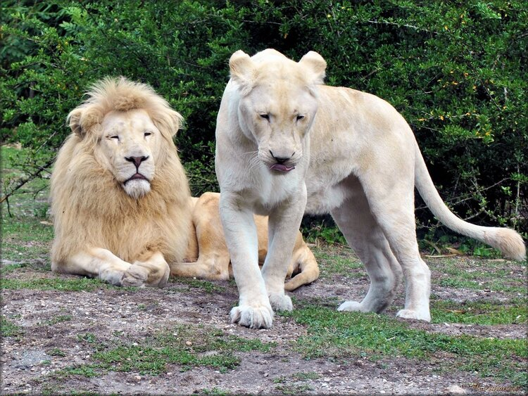 Photo Lions Blancs du Zoo de Pessac