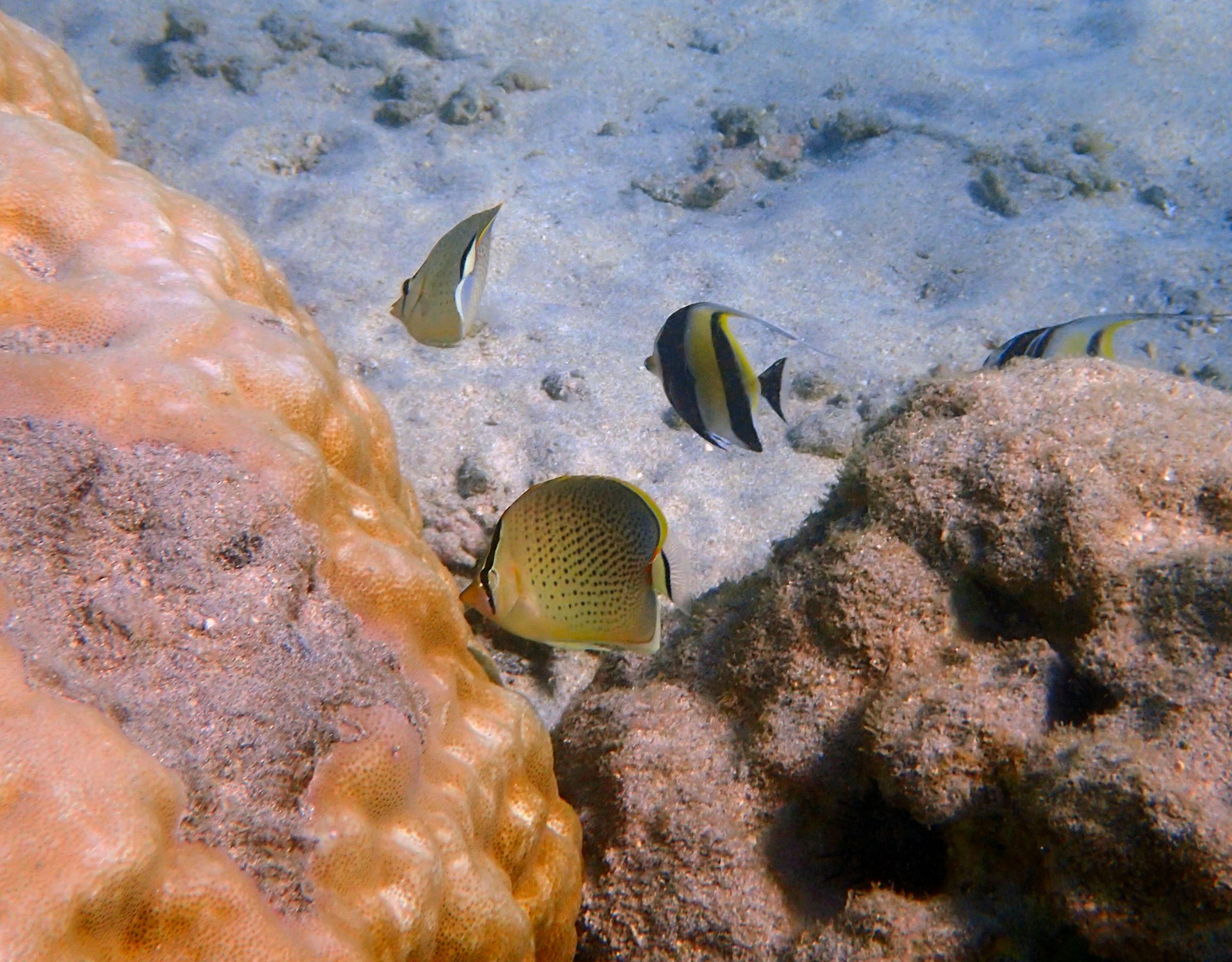 poissons papillons mouchetés