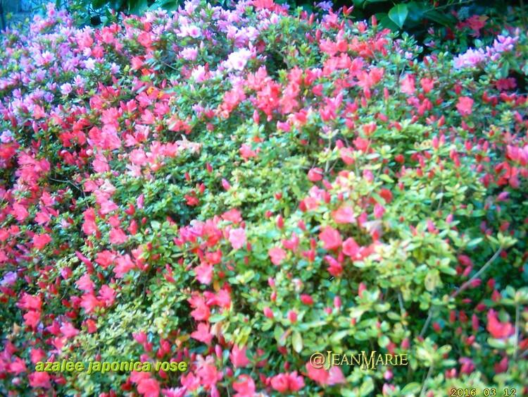 les pensées et les cornutas en pleines fleurs,L'azalea japonica ou azalée du Japon