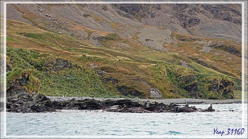 """Nous allons enfin pouvoir marcher sans """"tanguer"""", les Manchots royaux et les Otaries à fourrure antarctique, ou Otaries de Kerguelen, nous accueillent - Whistle Cove - Fortuna Bay - Géorgie du Sud"""