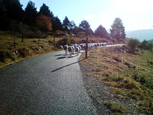 Quand les vaches suivent les agnelles