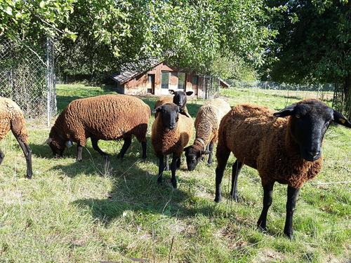 Mes amis les moutons.