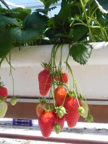 La culture industrielle des fraises