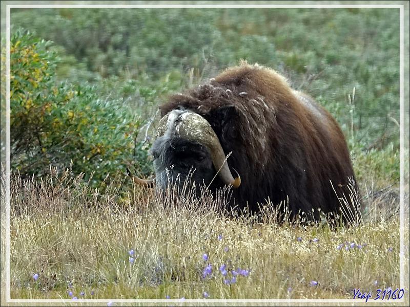 Bœuf musqué (Musk ox) - Kangerlussuaq - Groenland