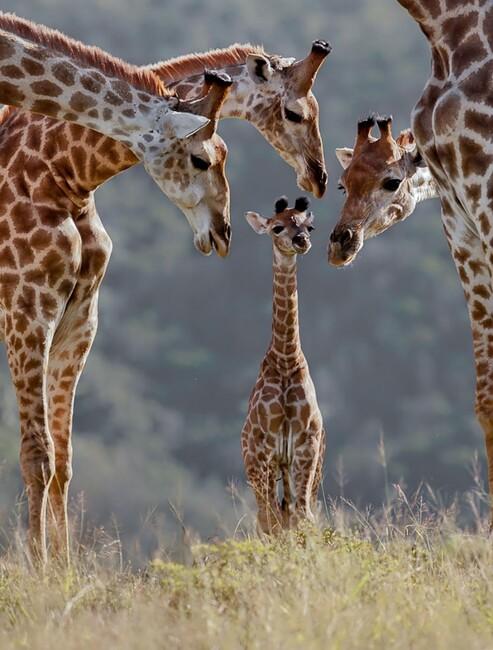 Photos de Famille Girafes et Girafon