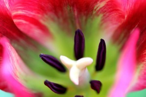 Tulipes Red Spring Green3