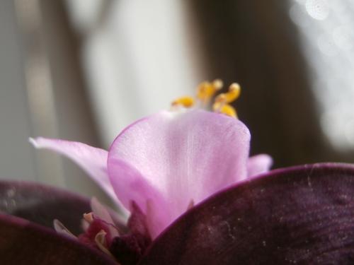 les rayons du soleil tombent sur une fleur mauve de misère pourpre, pétales irisés et étamines jaunes