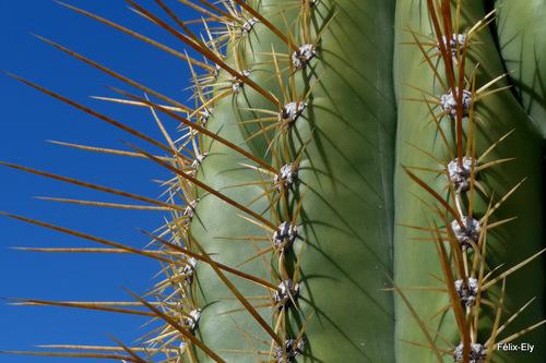Le grand cactus ...