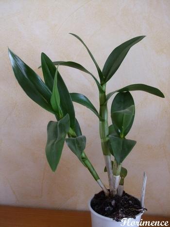 Dendrobium_02