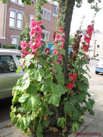 roses trémières 003-001