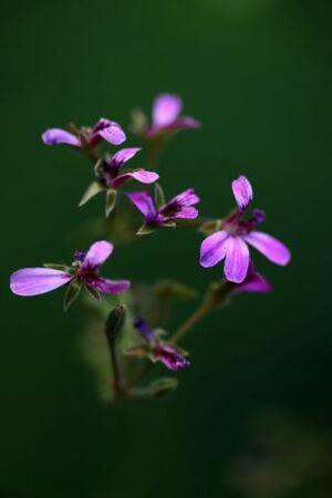 I ♥ pelargonium