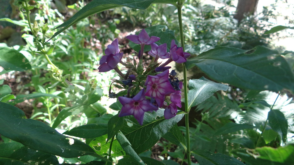 Les Phlox et le bouquet du vendredi