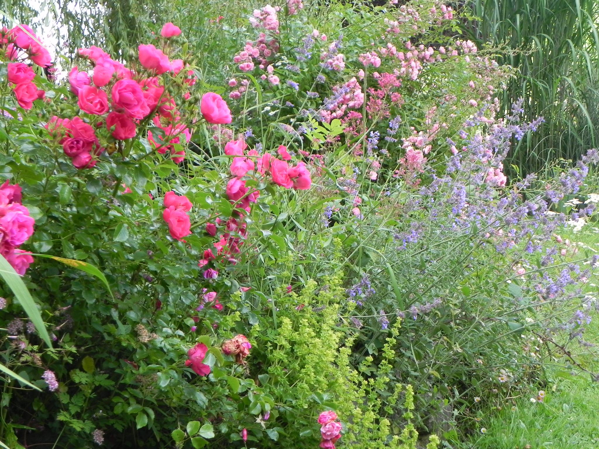 m langes roses vivaces au nom de la rose. Black Bedroom Furniture Sets. Home Design Ideas