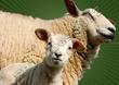Preview Brebis et agneau