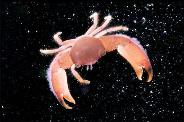 Crabe de corail
