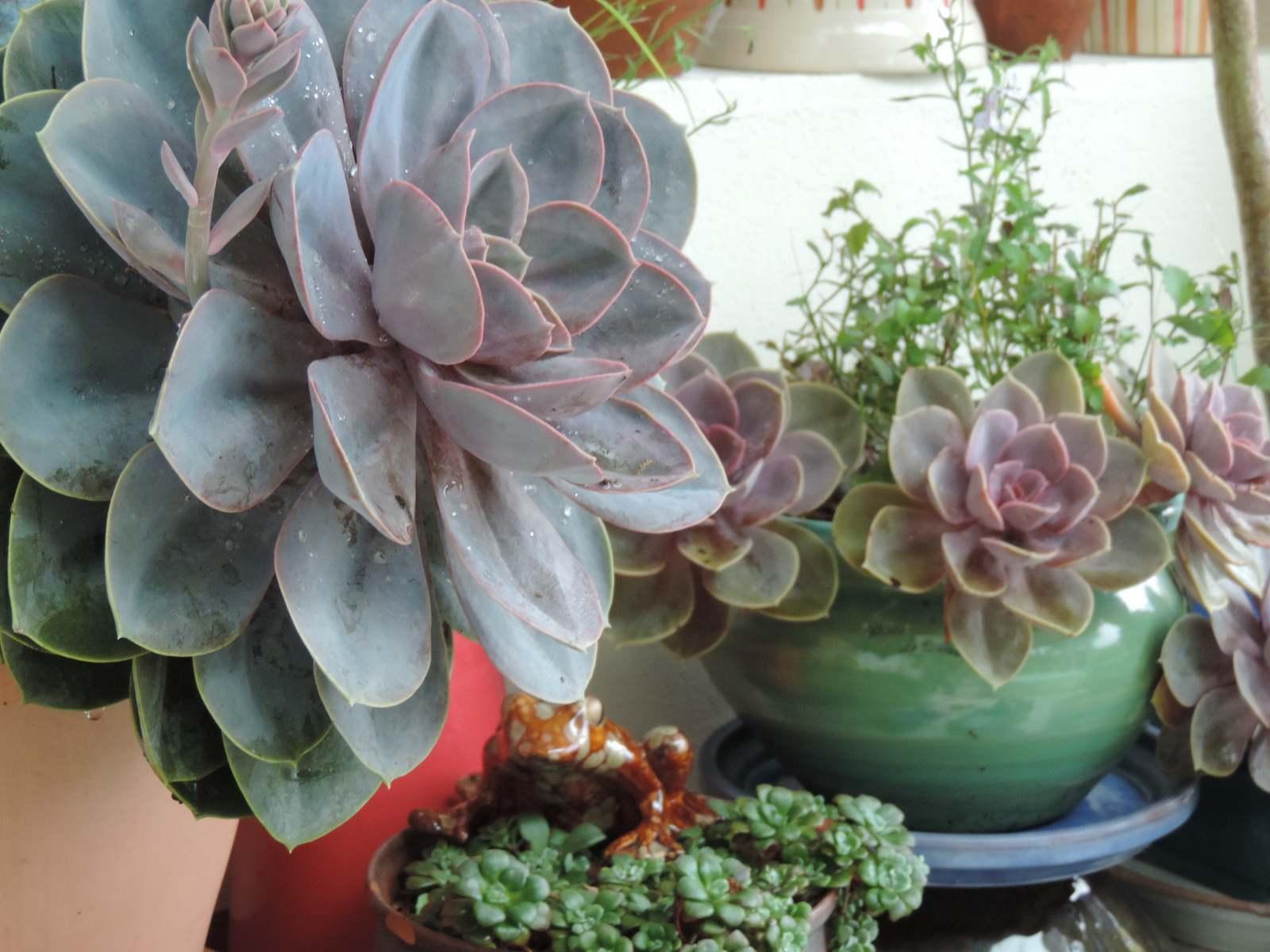 Succulentes à l'abri...