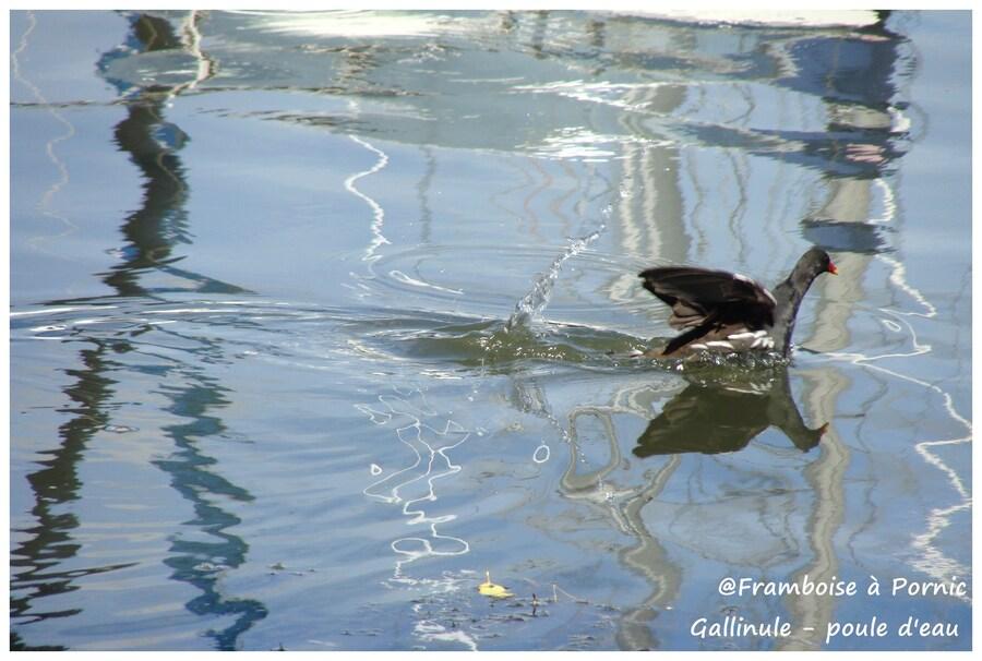 La gallinule et son trésor