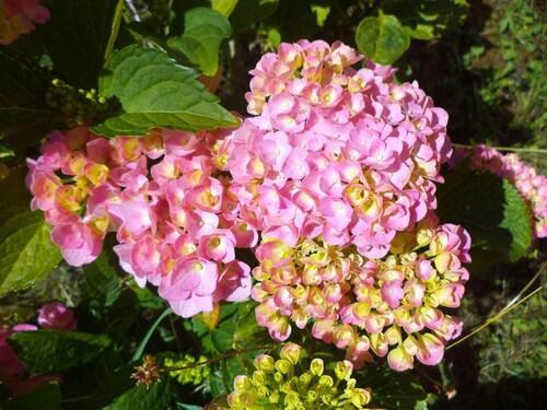 Les hortensias de Marie