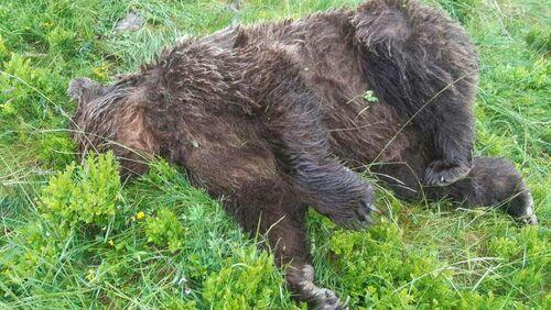 Ours brun des Pyrénées -