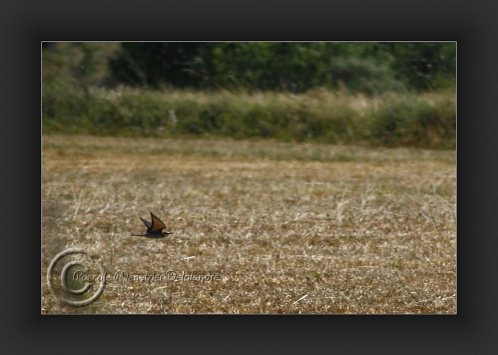Guêpier d'Europe - Merops apiaster - Coraciiformes