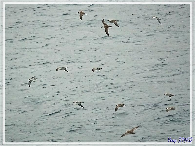 Vol de Puffins majeurs, Great Shearwater (Ardenna gravis) - Gough Island - Tristan da Cunha