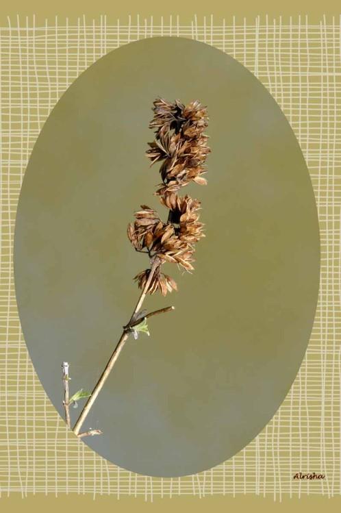 fleur séchées-1