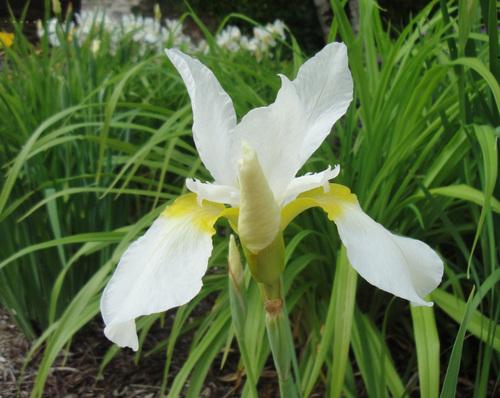 Les iris d'Olemps
