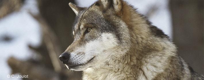 """Résultat de recherche d'images pour """"loup """""""