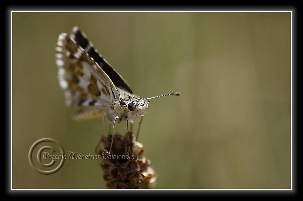Hespérie de la mauve (Pyrgus malvae) - Hesperiidae