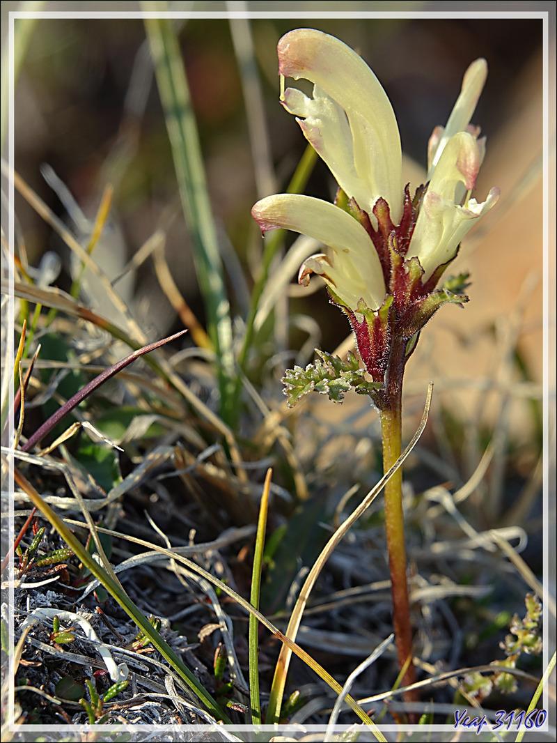Pédiculaire capité, Capitate Lousewort, Kukiujait, Banana (Pedicularis capitata) - Dundas Harbour - Nunavut - Canada