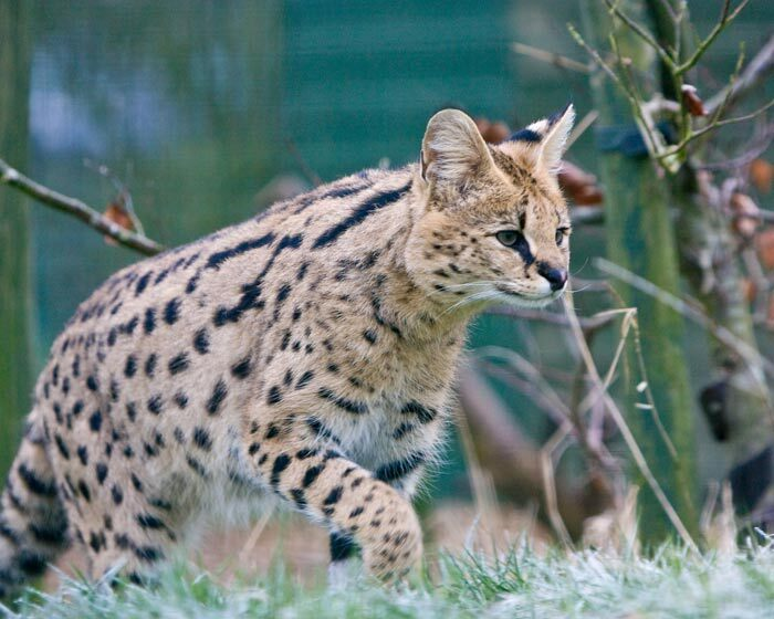 Serval qui chasse
