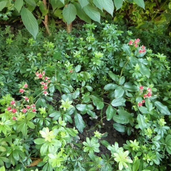 rosier-fraise-des-bois-dans-le-sous-bois---juillet-2014--80.jpg