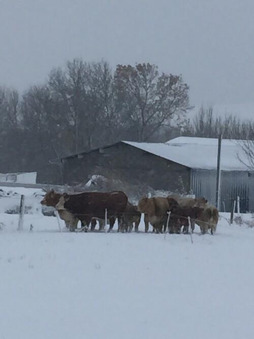 Est-ce que les vaches ont froid en hiver ?