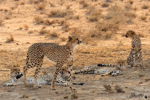 Spotted family, Kgalagadi NP