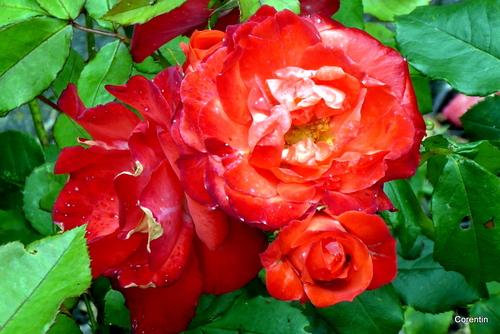 Roses rouges de mon rosier !