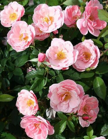 Les Roses de Warren : Petite Bonanza