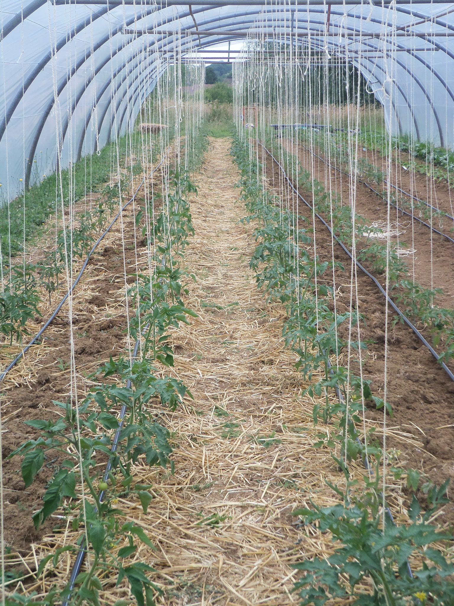 Tuteurer les tomates ai67 montrealeast - Tuteur tomate avec ficelle ...