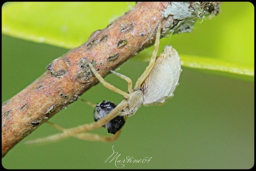 Araignée : Uloborus walckenaerius