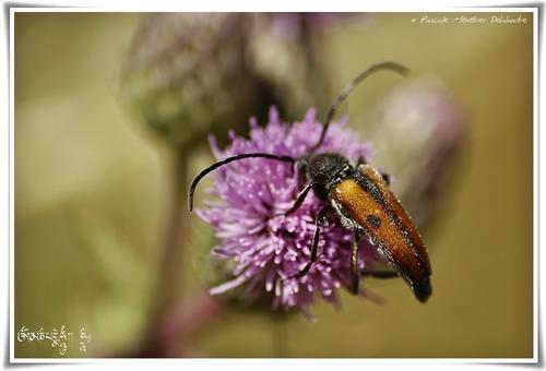 Coléoptère Cerambycidae Leptura (vadonia) unipunctata
