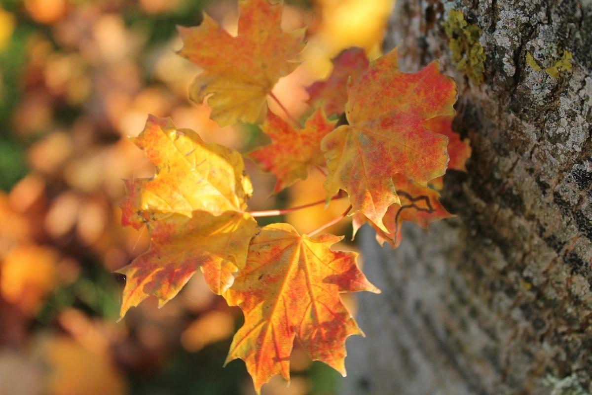 Encore accrochées à l'Arbre ...les feuilles d'or