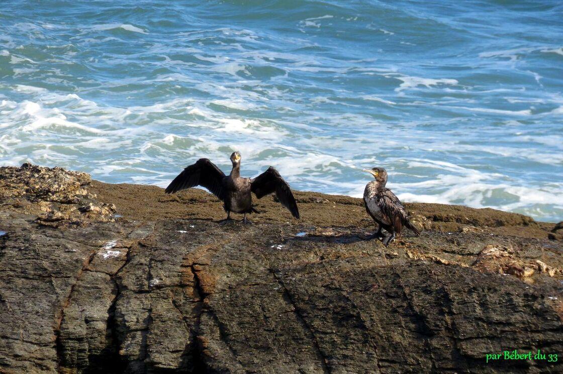 un cormoran et ...