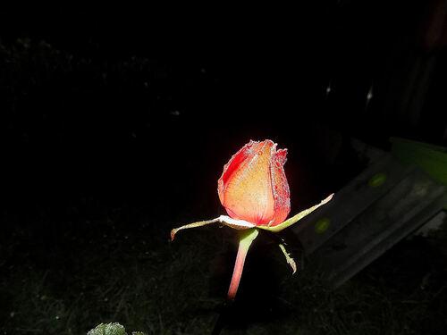 La rose solitaire