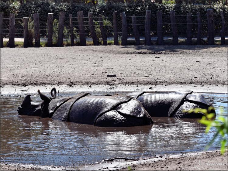 Rhinocéros indien - Zoo du bassin d'Arcachon