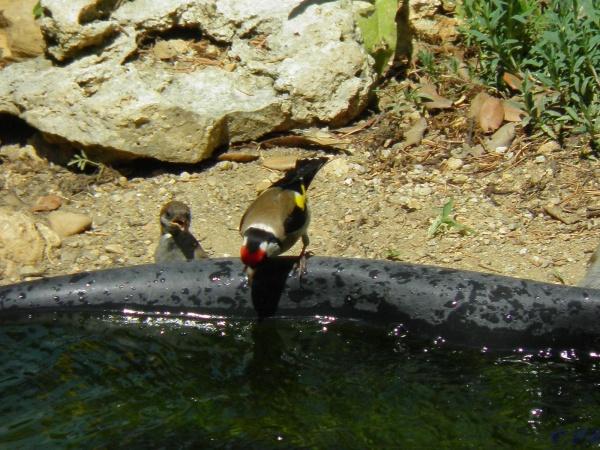 Famille chardonneret au bassin