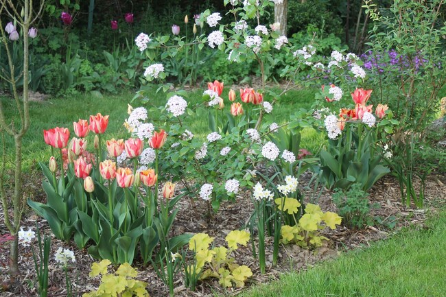 floraisons Tulipes 2019