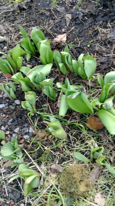 Au coeur de mon jardin Tulipe et crocus